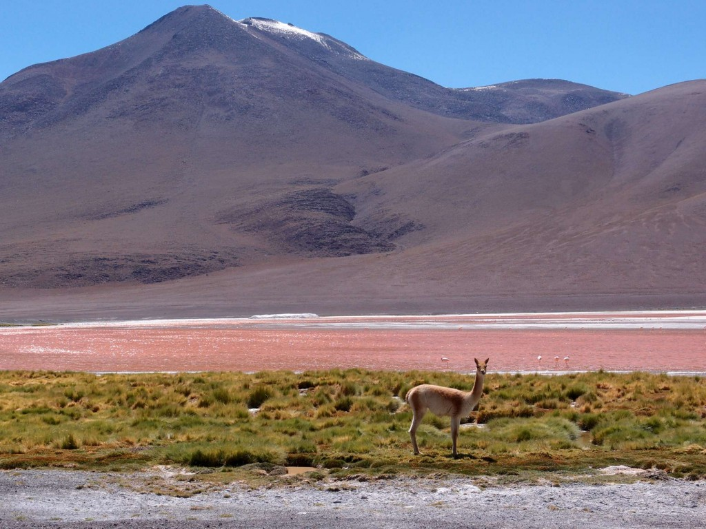 Vicuñas, Flamingos and a Red Lagoon
